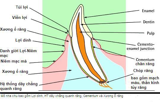 cấu tạo nướu răng như thế nào?