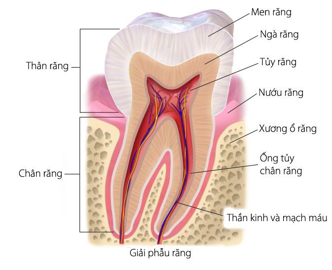 cấu tạo của nướu răng như thế nào