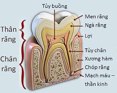 tìm hiểu cấu trúc răng